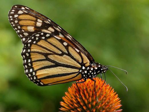 Чим харчуються метелики?