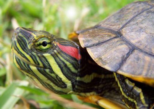 Що їдять красноухие черепахи?
