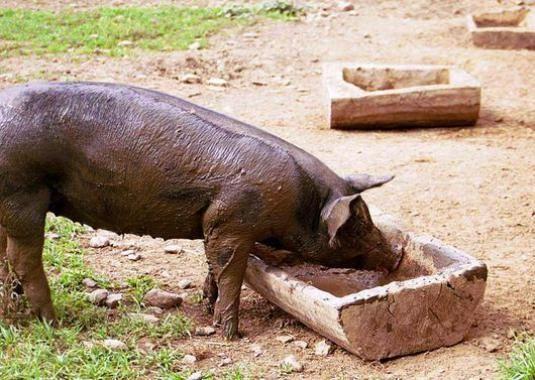 Що їдять свині?