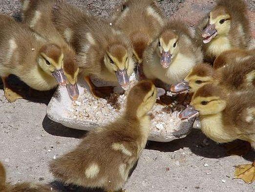 Що їдять качки?