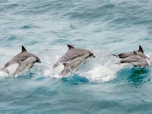 Чи їдять дельфінів?