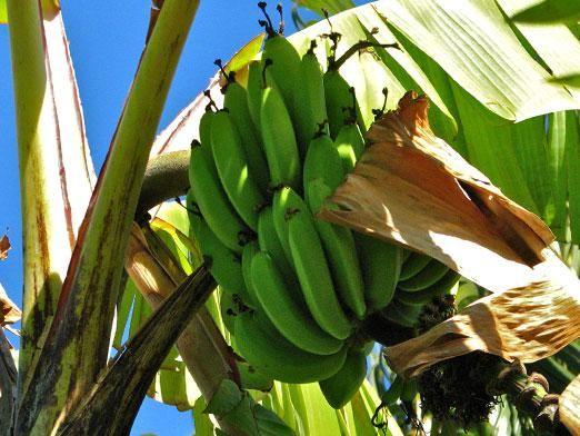Де ростуть банани?