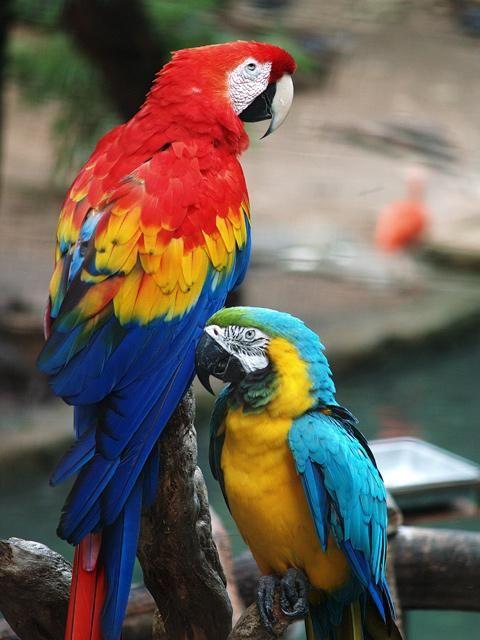 Домашні папуги