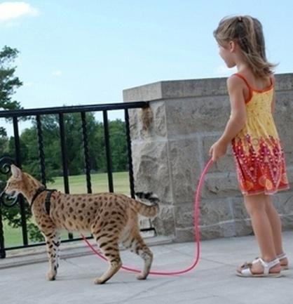найдорожча порода кішок