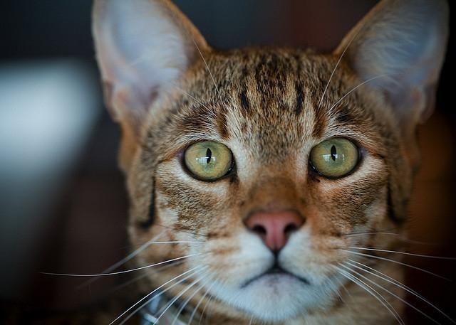 порода кішок ашера
