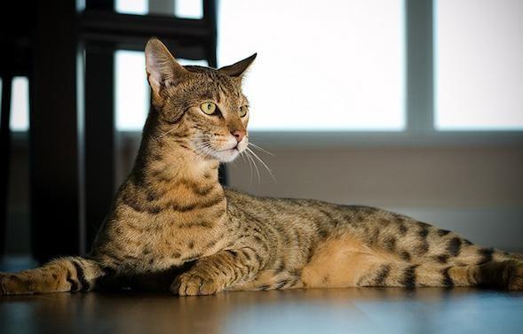 нова порода кішок ашера