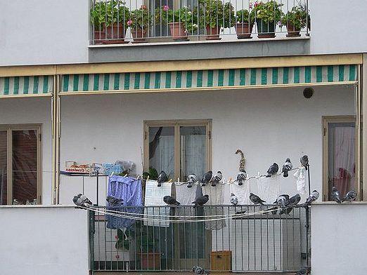 Як позбутися від голубів?