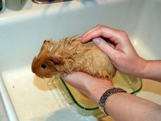 Як купати морську свинку?