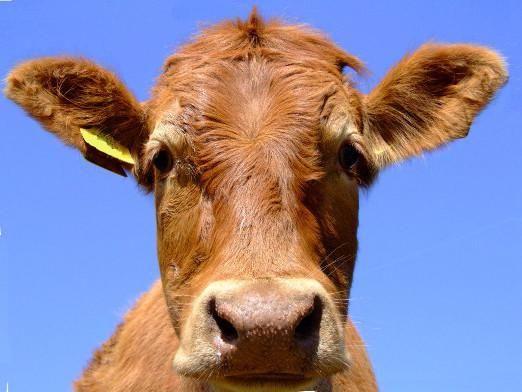 Як лікувати корову?