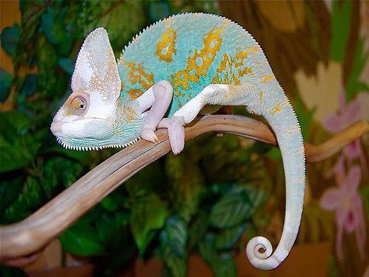 Як змінює колір хамелеон?