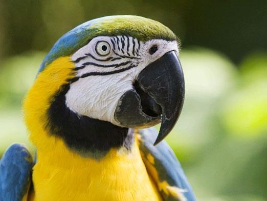 Як навчити говорити папугу?