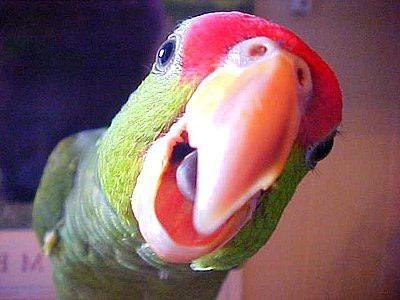 як навчити папугу говорити