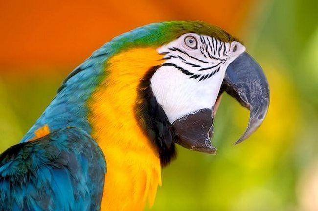 хвилясті папуги як навчити говорити