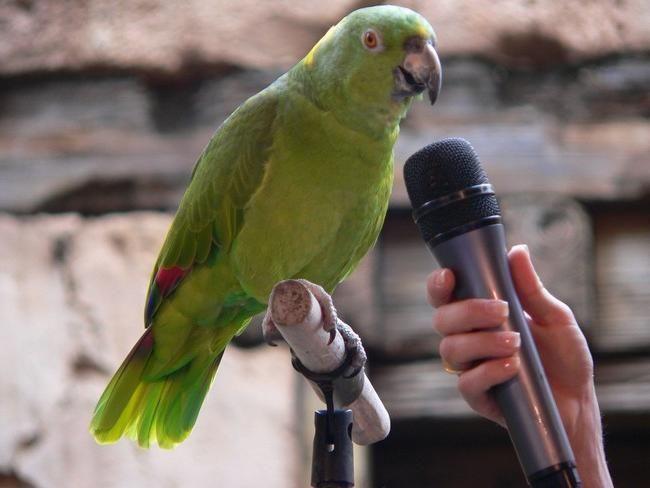 навчити папугу говорити