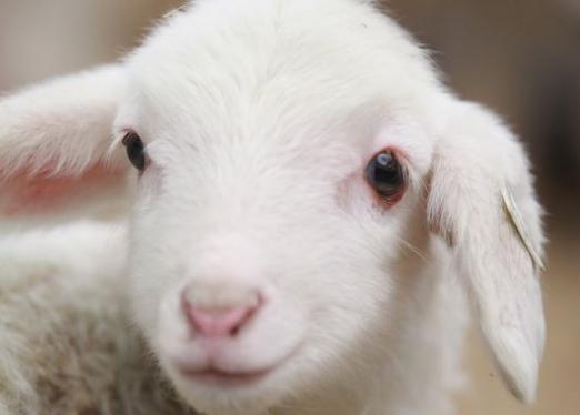 Як назвати козу?