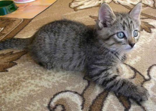 Як назвати сірого кошеня хлопчика?