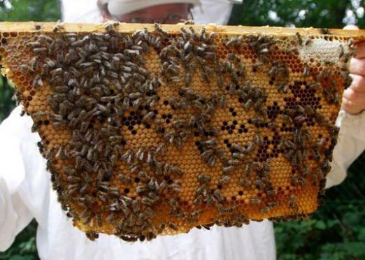 Як розводити бджіл?