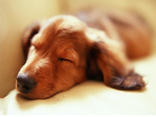 Як сплять собаки?