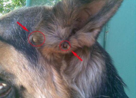 Як витягнути кліща у собаки?