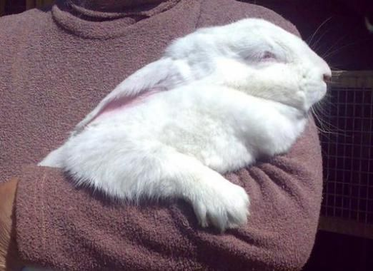 Як забивати кроликів?