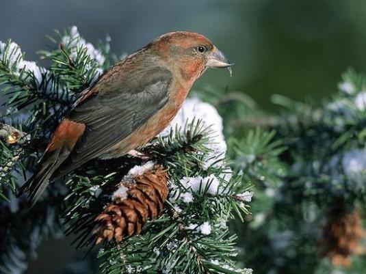 Яка птах виводить пташенят взимку?
