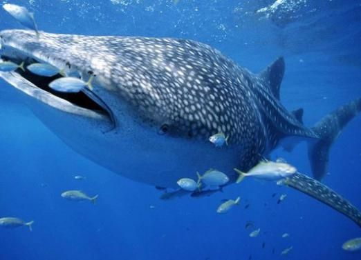 Яка риба найбільша?