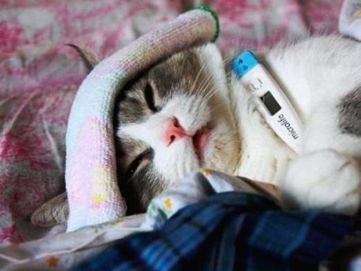 Яка температура у кішок?