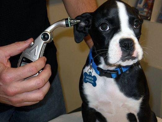 Яка температура у собак?