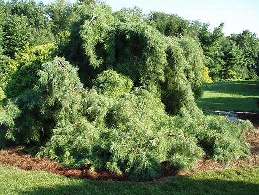 Які дерева хвойні?