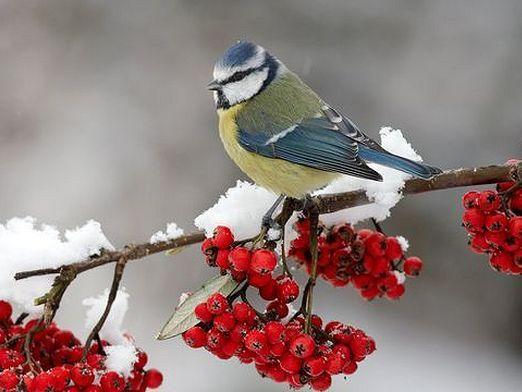 Які птахи зимують?