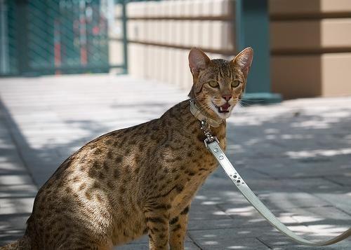 кішка ашера
