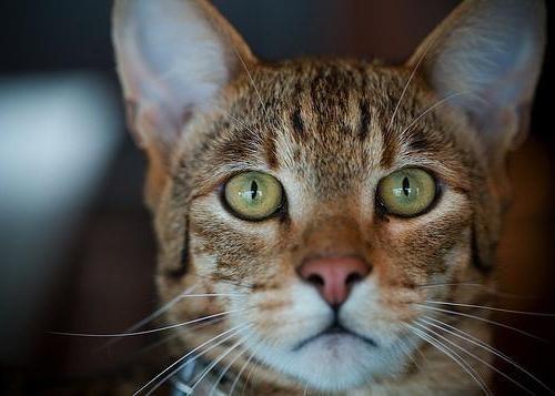 кішки породи ашера