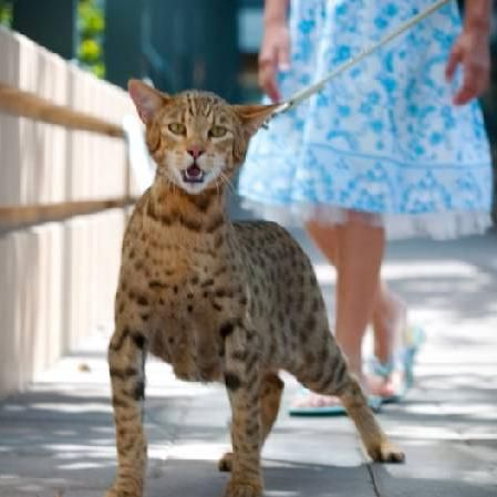 кішка породи ашера