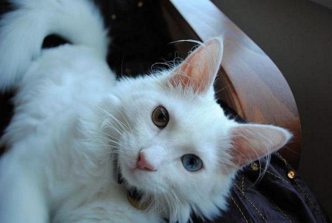 найкрасивіші породи кішок фото