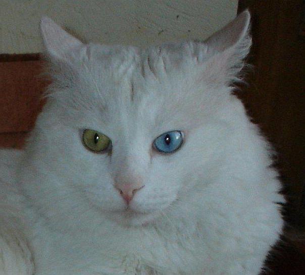 найкрасивіші породи кішок в світі фото