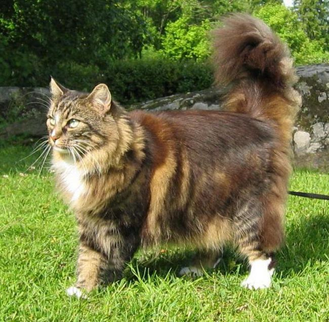 найкрасивіша порода кішок в світі