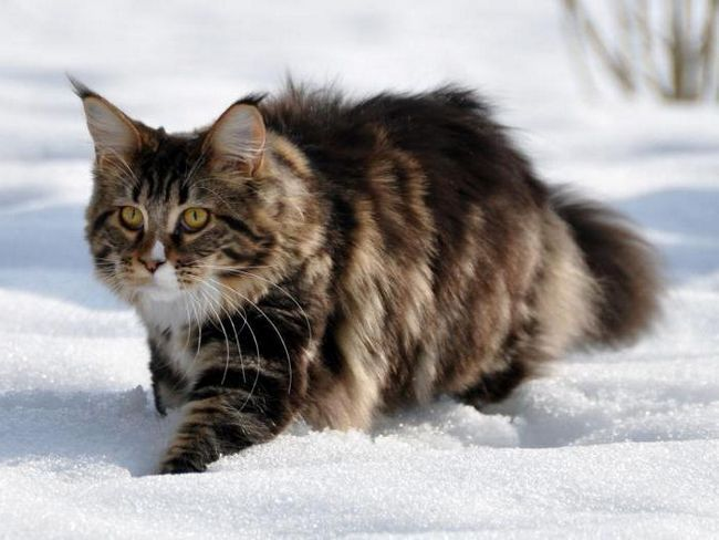 яка порода собак кішок найкрасивіша