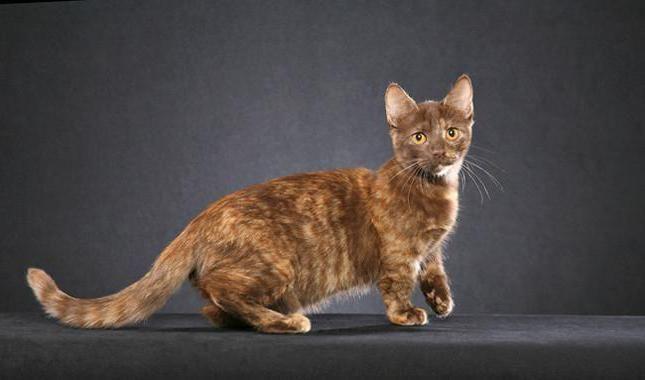 яка порода кішок найкрасивіша