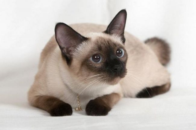 найкрасивіша порода кішки