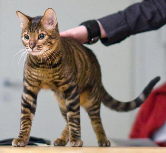 яка порода кішок найкрасивіша і розумна