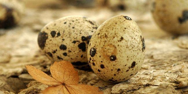 Перепелині яйця користь і шкода