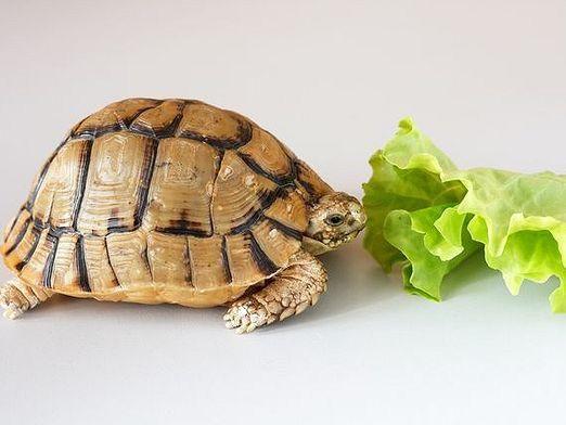Чому черепаха не їсть?
