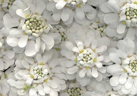 Чому квіти білі?