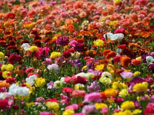 Чому квіти різних кольорів?