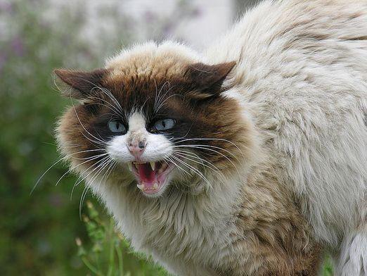 Чому кішка кричить?