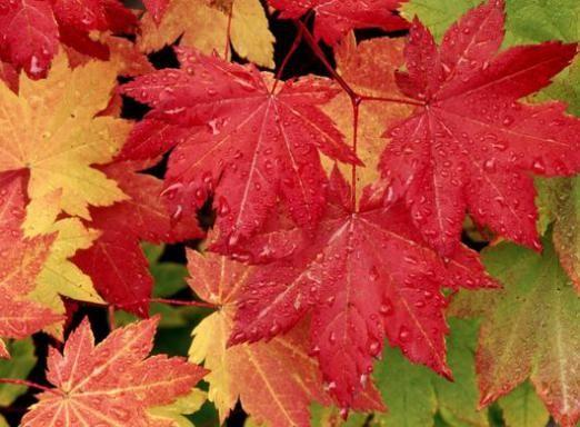 Чому червоніють листя?