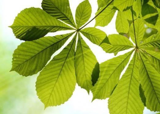 Чому листя зелене?