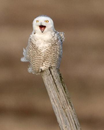 Полярна сова в Тундрі
