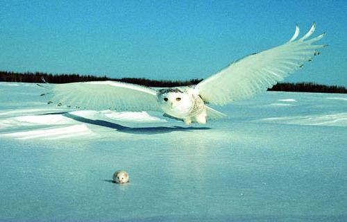 Біла сова полярна