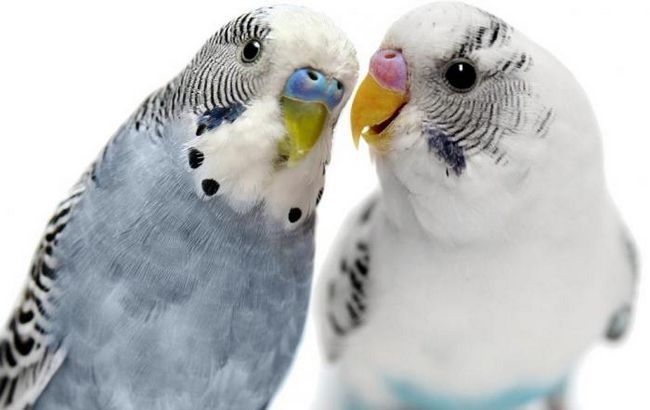 породи хвилястих папуг